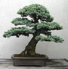 Bonsai Images - U.S. National Arboretum - Page 10