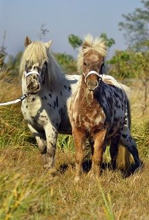 Dutch Appaloosa Pony mare Kristi and her filly Oda