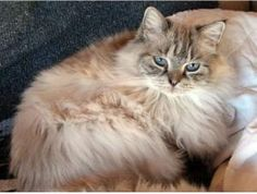 Ragdoll Sisters is an adoptable Ragdoll Cat in Ahwatukee, AZ. We have 2 purebred Ragdoll sisters. They are very bonded and we will not separate them. The Torti Point is a bit shy, and the Lynx Point...