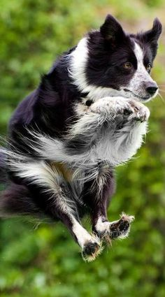 Airborne Border Collie. The family dog, particularly the more intelligent ones, senses your feelings, whether you are enthusiastic or depressed and will act accordingly, sharing your enthusiasm or attempting to sooth you. Learn to understand their messages. #bordercollie