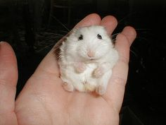 Such a cutie.....dwarf hamster. I have one of these, her name is Honey. :)