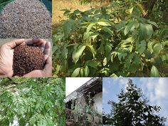 Validated Medicinal Rice Formulations for Diabetes (Madhumeha) and Cancer Complications and Revitalization of Pancreas (TH Group-142 special) from Pankaj Oudhia's Medicinal Plant Database