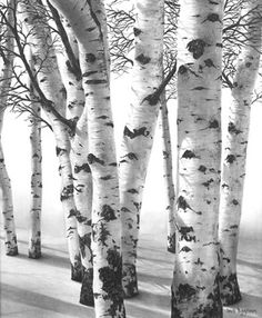 Charcoal Drawing David Bjurstrom - A little something we have not had before – drawing, just good old pencil drawing, with the odd charcoal smudge. Graphite Art, Graphite Drawings, Charcoal Drawings, Pencil Art, Pencil Drawings, Art Drawings, Aspen Trees, Birch Trees, Tree Forest