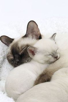 CAT 07 JE0008 01 © Kimball Stock Close-Up Of Tonkinese Cat And Kitten Sleeping On White Blanket