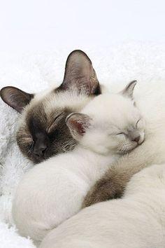 CAT 07 JE0008 01 © Kimball Stock Close-Up Of Tonkinese Cat And Kitten Sleeping On White Blanket