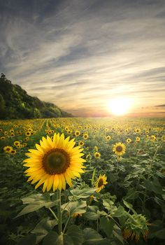 Sunflower Sanctuary in East TN [1909x2839] [OC]