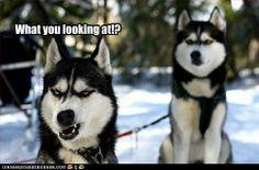 annoyed husky meme - photo #9