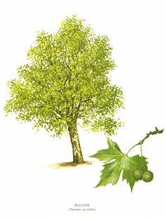 Tree Art Print - Tree Illustration - Woodland Tree Art - Fagus Sylvatica Leaf - Decidious Tree Decor. Foliage Wall Art Print.  This original botanical illlustration comes f...