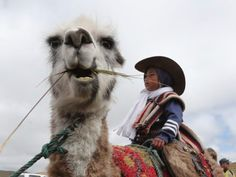 Children race llamas in Ecuadorian highlands - Evening Express Ecuador, Camel, Beast, National Parks, Racing, Llamas, Highlands, Children, Animals