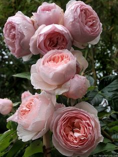 Heritage rose by David Austin - I grew these in my beds in Fort Worth and loved their beautiful flowers.