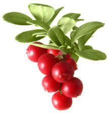 """The lingonberry is the Scandinavian cousin of the American cranberry and the European redberry. People in Sweden call it the """"red gold of the country"""". Lingonberries grow on evergreen, frost-resistant shrubs."""
