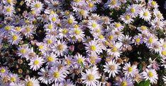 Aster ageratoides Stardust  Zowel qua kleur als bloemvorm gaat 'Stardust' heel mooi samen met Persicaria amplexicaulis. En mocht de plant zich toch iets te veel uitbreiden, dan trek je het overschot er met één handbeweging uit.  Soort plant: vaste plant Hoogte: 50 cm cm Bloeitijd:  oktober - november Standplaats: zon, halfschaduw Grondsoort: gewone tuingrond Aantal per m2: 3 - 5 Bijzonderheid: bijen- en vlinderplant Onderhoud: in het voorjaar de afgestorven stengels afknippen