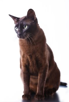 Learn about the Havana Brown cat breed. From their size, temperament and exercise needs, to common medical issues and their costs, as reported by owners. Havana Brown, Rare Cats, Cats And Kittens, Super Cat, Brown Cat, Sleepy Cat, Beautiful Cat Breeds, Cat Sitting, Cat Design