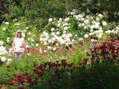 Hydrangeas and bee balm
