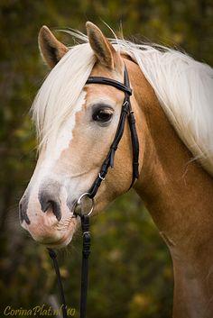 Haflinger Horse, Fjord Horse, Friesian Horse, Palomino, Cute Horses, Pretty Horses, Beautiful Horses, Animals Beautiful, Cute Horse Pictures
