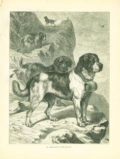 vintage dog pictures | ANTIQUE Dog Engraving Print 1890 Saint St. Bernard Dogs