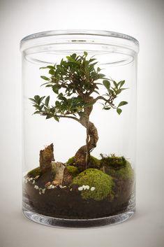 Garden XL Bonsaï Ficus Retusa (5ans) | GREEN FACTORY – Atelier Green Factory
