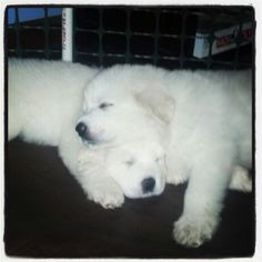 5 week-old Great Pyrenees puppies cuddling for a nap