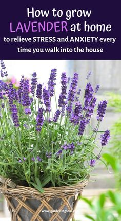 Bring the magic of lavender fields into your home and garden by growing it yourself. Bring the magic of lavender fields into your home and garden by growing it yourself. Succulents Garden, Garden Plants, Indoor Plants, Planting Flowers, Indoor Flowers, Garden Shrubs, Shade Garden, Indoor Lavender Plant, How To Plant Lavender