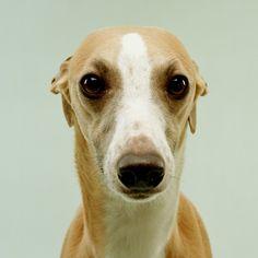 Whippet Love it. looks like a whippet mugshot Beautiful Dogs, Animals Beautiful, Cute Animals, Whippet Dog, Greyhound Puppies, Greyhound Rescue, Lurcher, Dog Rules, Italian Greyhound