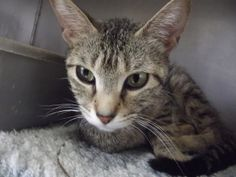 Lu Lu is an adoptable Domestic Short Hair-Gray Cat in Shelbyville, IN. Lu Lu is a one-year-old domestic shorthair tiger-stripped tabby that was relinquished by her owner the end of May because the cat...
