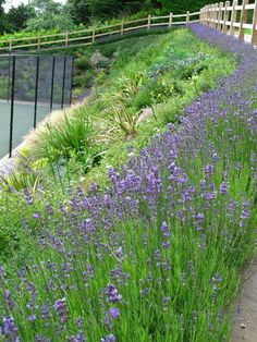 Lavender hedge surrounds a mediterranean planting scheme on a hot sunny bank.