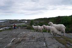 Sau på Kalvehageneset   Flickr - Photo Sharing! Norway, Animals, Animaux, Animal, Animales, Animais