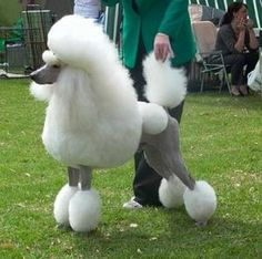 White Standard POODLE.  Show quality white poodles should have BLACK skin with no spots
