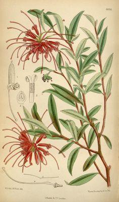 v.109 [ser.3:v.39] (1883) - Curtis's botanical magazine. - Biodiversity Heritage Library
