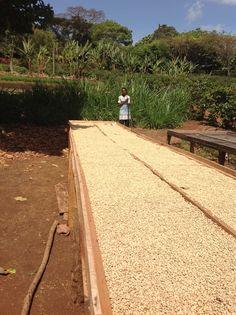 Coffee drying in Arusha Tanzania