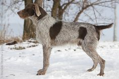 Slovakian Wirehaired Pointer.