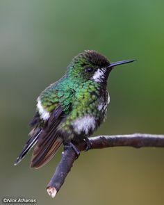 Female Green Thorntail Hummingbird, Ecuador, by Nick Athanas