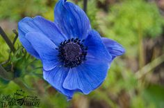 Blue flower at Blarney Gardens, Ireland