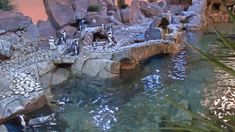 Check out our live African penguin feed with our Georgia Aquarium webcams. Georgia Aquarium, Aquarium Fish, Colorful Fish, Tropical Fish, Weedy Sea Dragon, Behind The Sea, Dolphin Encounters, African Penguin, Live Animals