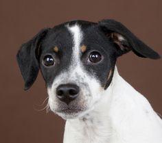 Hugo – Danish Swedish farm dog