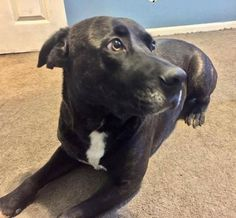 Reagan is approximately two years old and just a sweetheart. He loves other animals and people. He rarely barks and is great on a leash. This love bug would love a fenced in yard to play in and his own people to love.