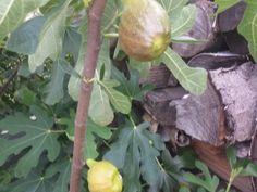 Jak si doma vypěstovat fíky (7) Indoor Plants, Gardening, Vegetables, Nursing Care, Lawn And Garden, Inside Plants, Vegetable Recipes, Veggies, Horticulture
