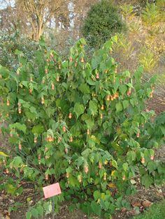 Abutilon sp, floraison rose orange en clochette de mai à octobre