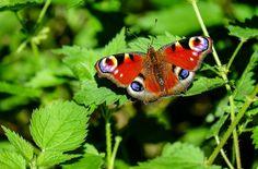 Páv Butterfly, Motýl, Hmyz, Barvitý, Les