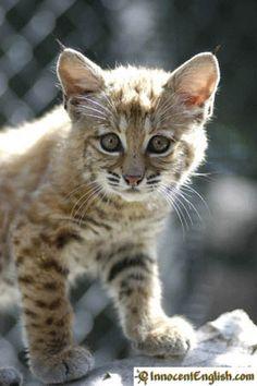 bobcat!