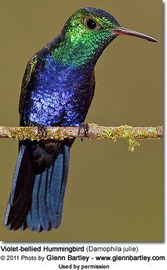 Hummingbirds - Nature Animals Birds Hummingbird Violet-bellied Hummingbird (Damophila julie) - also known as Julie's Hummingbird