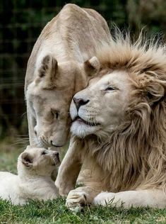 In their enclosure rare five-fold white lion cubs - - Mom - Animals Big Cat Family, Lion Family, Nature Animals, Animals And Pets, Wild Animals, Animals Planet, Beautiful Cats, Animals Beautiful, Cute Baby Animals