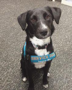 191 Best Service Dog Images Service Dogs Psychiatric Service Dog