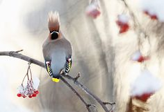 Credit: Markus Varesvuo/GDT Birds category, highly commended: Waxwing by Markus Varesvuo