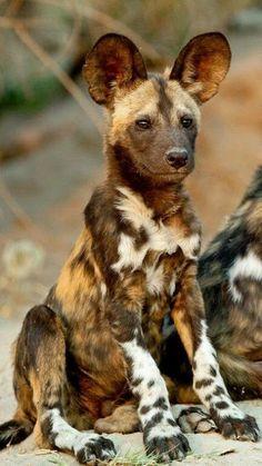 African Wild Dog - Le chien sauvage africain (Lycaon pictus) est un canidé… Nature Animals, Baby Animals, Funny Animals, Cute Animals, Bizarre Animals, Safari Animals, Fierce Animals, Exotic Animals, Wildlife Safari
