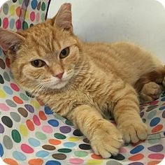 Media, PA - Domestic Shorthair. Meet Taz, a kitten for adoption. http://www.adoptapet.com/pet/15093558-media-pennsylvania-kitten