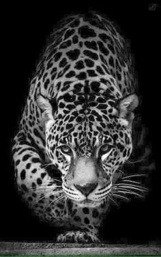 Beautiful jaguar face nature animals, animals and pets, cute animals, unique wallpaper, Jaguar Wallpaper, Wild Animal Wallpaper, Beautiful Cats, Animals Beautiful, Beautiful People, Beautiful Life, Black Animals, Cute Animals, Black Jaguar Animal