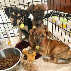 Happy #NationalDogDay from Jojo Joy and Jane! The J pups are 11-week-old Miniature Pinscher and Dachshund mixes and they are looking for forever families to celebrate #nationaldogday with for years to come! You can meet these pups at the Blue Bell Pet Supplies Plus tomorrow (Sunday) from 10-12! Apply to adopt one of these adorable puppies at http://ift.tt/1vS2A9I today!  #dogsofphiladelphia #rescuedogsofinstagram #rescuedisthebestbreed #rescuedogsofinsta #foster #adopt #adoptme #adoption…