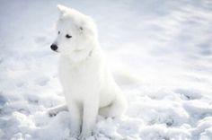 Husky en la nieve
