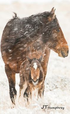 John T Humphrey Photography ~ It's a girl! Storm, born last night to Mystique and Treasure. This shot was from this morning. ❤️ Pine Nut Wild Horse Advocates Carson Valley Nevada